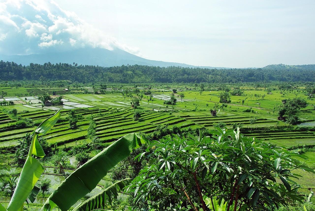 Индонезия, влажный сезон, рисовые поля