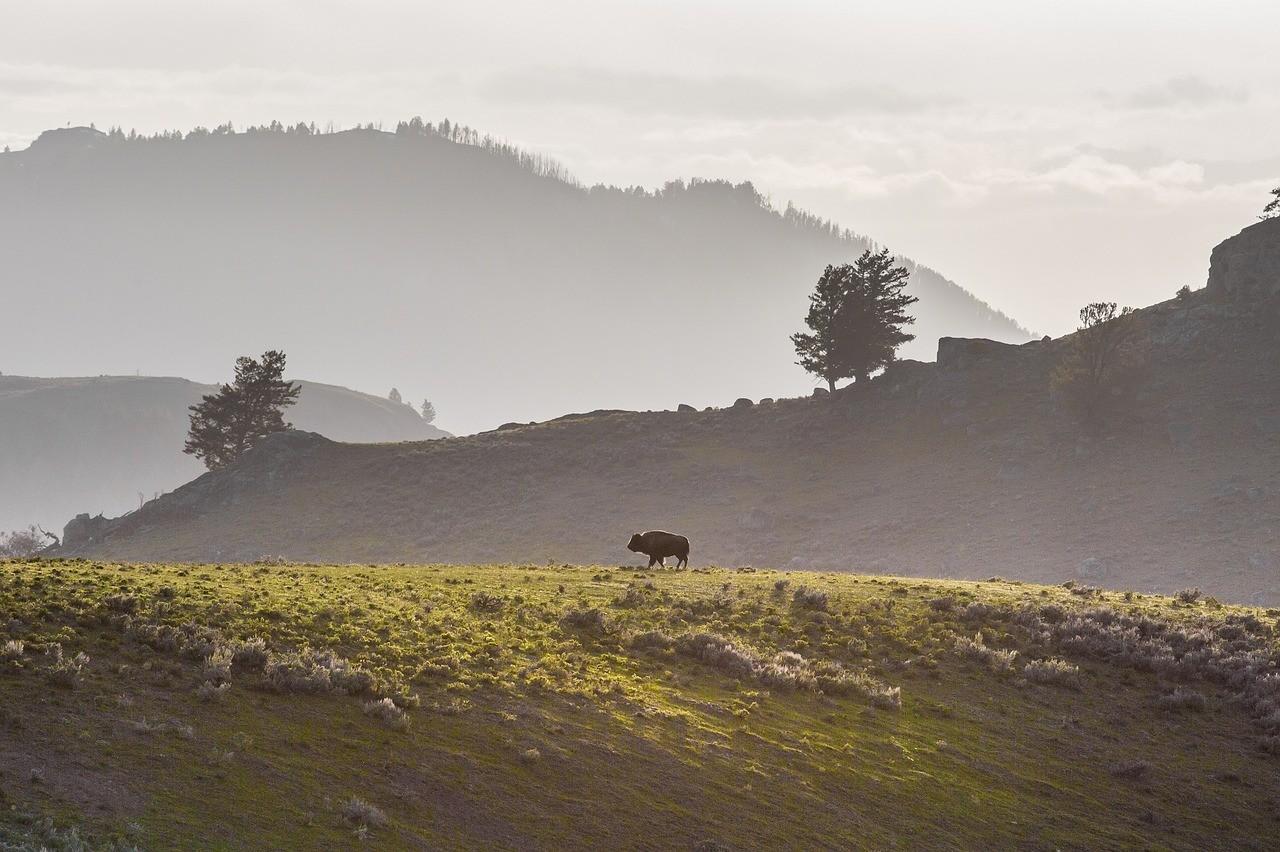 Йеллоустоунский национальный парк, бизон