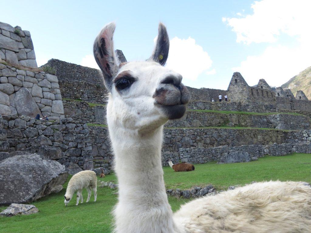 Лама на Мачу Пикчу, Перу