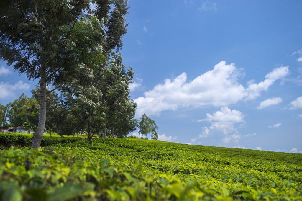 Мэй Салонг, чайные плантации, Таиланд