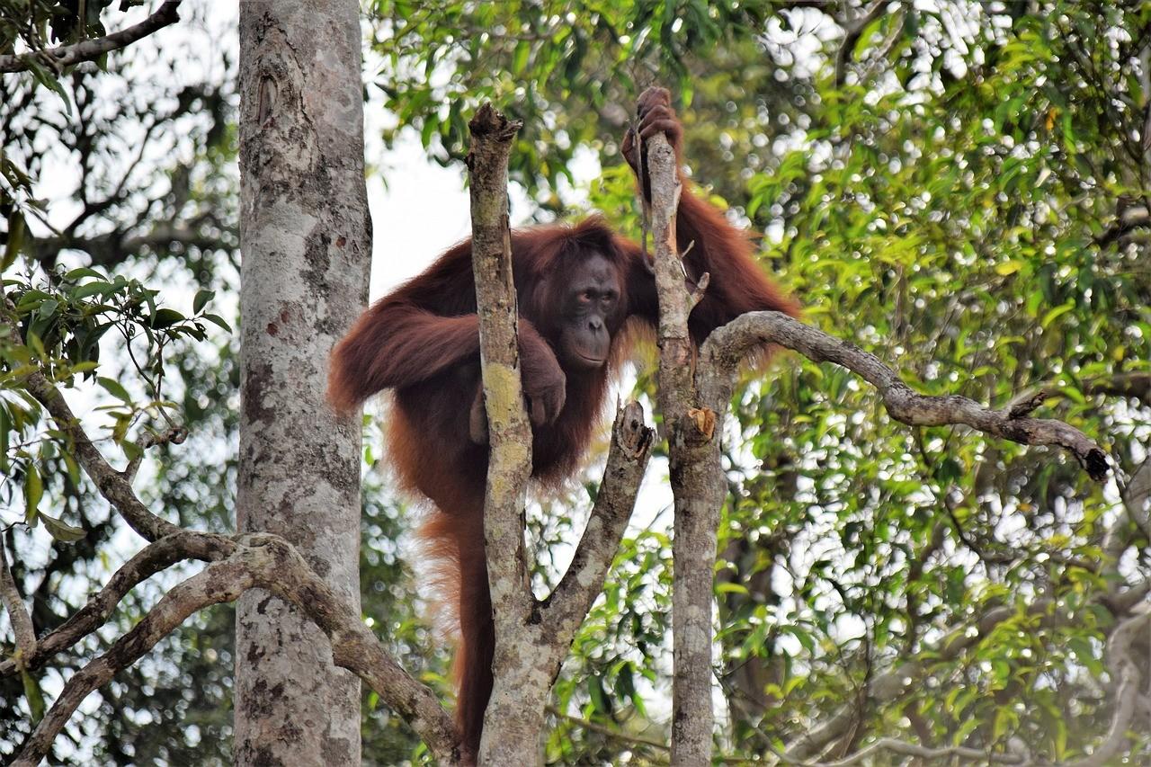 Орангутанги, остров Калимантан, Индонезия