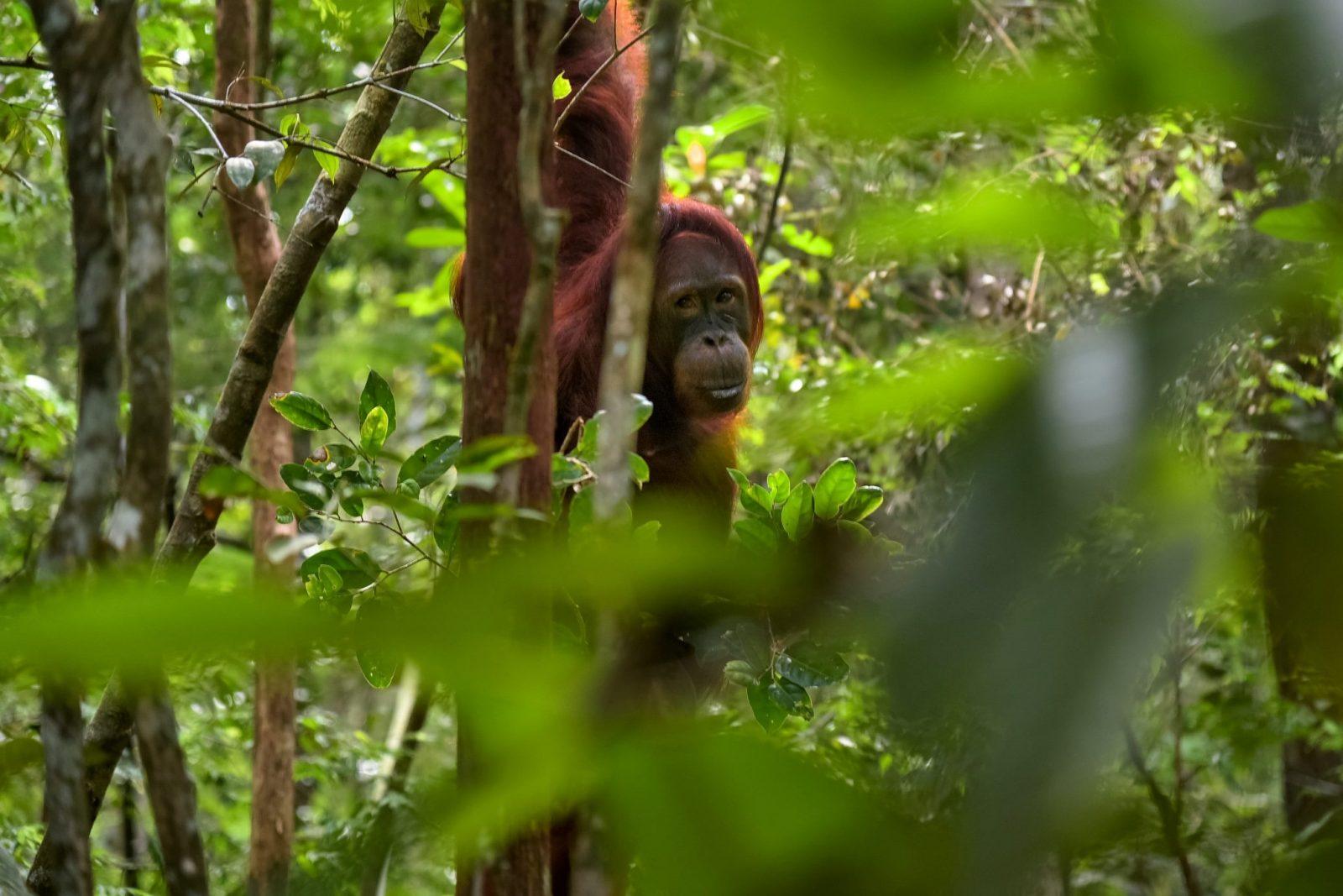 Национальный парк Танджунг Путинг, Суматра, Индонезия